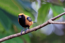 Photo Of A Burnished-buff Tanager (Tangara Cayana) Seen From The Front Perched On A Branch On A Blurred Background