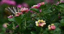Butterfly On Flowers In Garden...