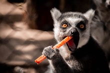 Lemur Is Eating Carrot In The ...