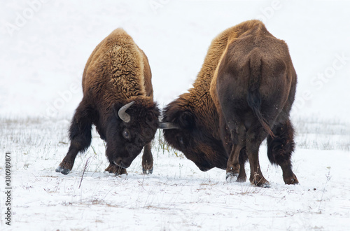 Fotografia Two huge american bison fighting in snow.