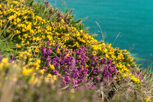 Land And Sea Separated By Diagonal. Purple And Yellow Gorse Flowers. When The Land Meets The Sea. Wild Flowers Along Coastal Line In Bray, Co. Wicklow, Ireland