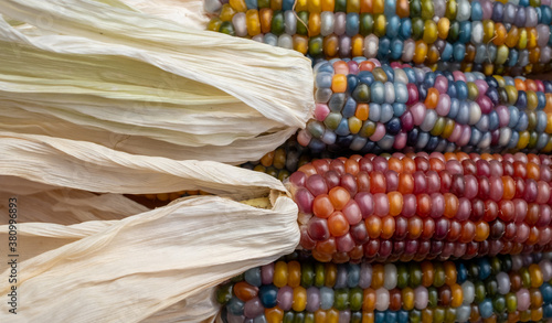 Zea Mays sweetcorn with multicoloured kernels, grown on an allotment in London UK Canvas Print