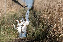 Group Of Ducks In Water Between Reed