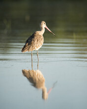 Long-billed Curlew Bird With A...