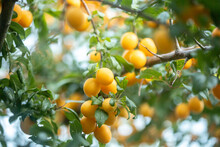 Bright Yellow Cherry Plums Fru...