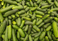 A Lot Of Green Cucumbers.