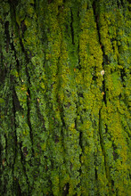 Green Moss On Elm Tree Trunk Texture