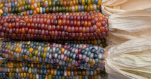 Zea Mays Glass Gem Corn On The Cob With Multicoloured Kernels, Grown On An Allotment In London UK.