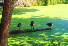 Three Brown, White And Black Swans On A Tree Branch In Deep Green Lagoon Water At The LA Arboretum In Arcadia, California
