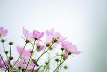 コスモスの花名はスペ...
