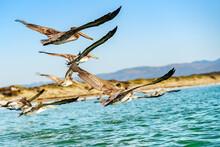 Flock Of Pelicans Flying Over ...