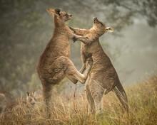 Kangaroos Boxing 2