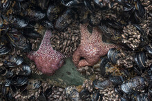 Ide Pool Animals: Sea Star, Clams And Echinoderms Underwater In The Pacific Coast, California, USA