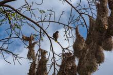 Montezuma Oropendola Bird (Psarocolius Montezuma) With Nests In Costa Rica.
