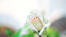 Small Rose Flower With Green O...