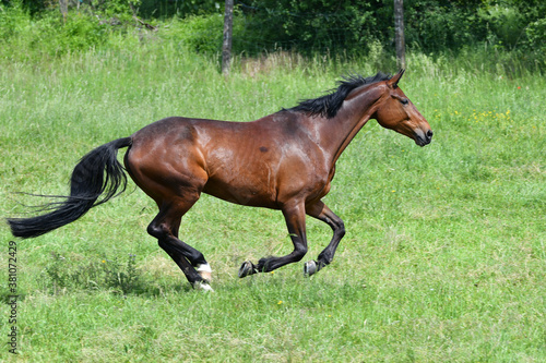 A bay horse galloping in a green meadow. Canvas Print