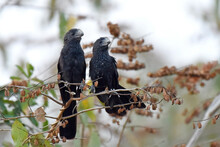 Pair Of Smooth-billed Ani. The...