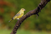 The European Greenfinch, Or Just Greenfinch (Chloris Chloris) Sits On A Twig. Small Green European Passerine On A Branch.