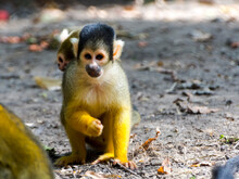 Bolivian Squirrel Monkey Mothe...