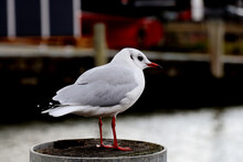 Portrait Of Young Baby Seagull Standing On A Wooden Post With Blurred Background
