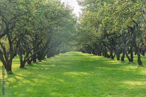 Fototapeta Apple trees in the garden at summer day time.