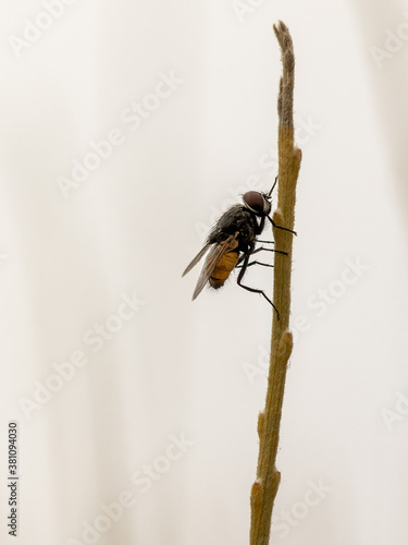 Fototapeta Fly in its natural environment.
