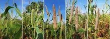 Pearl Millet Growing Up Photo ...