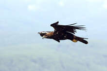 Spanish Imperial Eagle Adult Male Fying With The Morning Lights On A Windy Day In A Mediterranean Forest In Central Spain