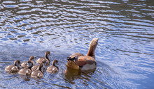 A Family Of Egyptian Geese Swi...
