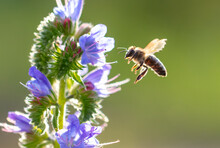A Bee Collects Honey On Blue F...