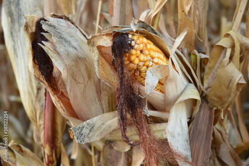 Fotomural le maïs en septembre
