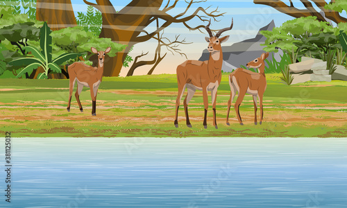 Fototapeta A herd of Cob antelopes on the bank of Great Lake