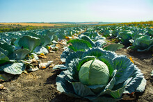Ripe Cabbage With A Blue Tint ...