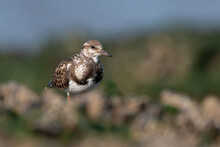 Ruddy Turnstone (Arenaria Interpres) Searching For Food In Mussel Beds (Mytilus Edulis) On The Norfolk Coast