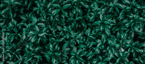 Obraz tropical leaves, abstract green leaves texture, nature background - fototapety do salonu