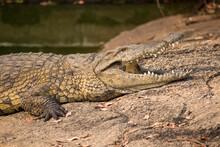 Nile Crocodile (Crocodylus Nil...
