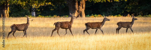 4 Red deer does walking behind each other from left to right across a meadow of Poster Mural XXL