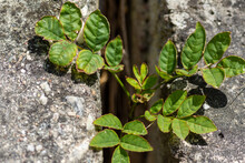 Green Foliage Of A Rose Bush In A Gap In A Wall
