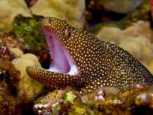 Whitemouth Moray (Gymnothorax Meleagris) - Hawaii