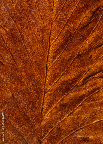 Fototapeta Brown textured surface of a dry leaf. Macro. Close-up. obraz