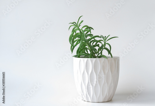 Fototapeta Peperomia ferreyrae in a white pot. minimal style home decor and plants. hipster and nordic style decoration. succulent home plants. easy to care flowers. obraz