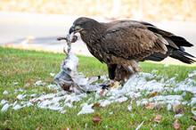Young Bald Eagle Eating A Seag...