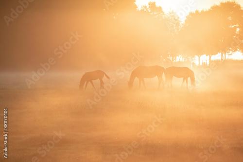 horse family grazing in sunrise fog Canvas Print