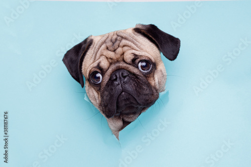 Portraite of cute dog of the pug breed climbs out of hole in colored background Fototapete