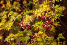 Ripening Blackberries Among Green Leaves