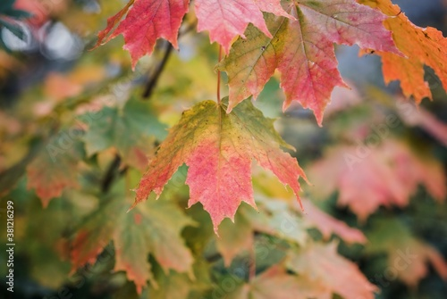 close up of a maple leaf changing colour in fall