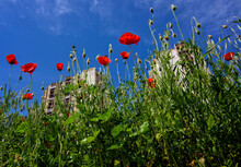 Poppy Flowers Field In The City