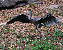 Blue Heron Stock Photos.  Close-up Profile View Marching With Spread Wings Displaying Blue Feather Plumage, Beak With A Foreground Foliage And Brown Leaves Background. Image. Picture. Portrait.