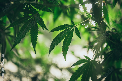 Fototapeta Commercial hemp farming in a greenhouse. Industrial hemp grown to produce CBD oil and other hemp derived products obraz