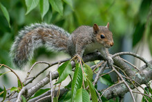 Grey Squirrel On A Branch With...